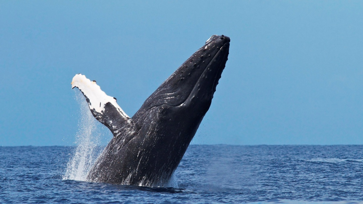 North America - Humpback whale