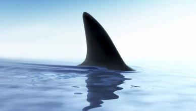 web-shark-fin